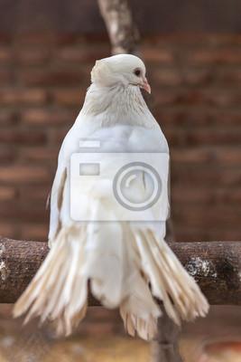 Czysto biały gołąb