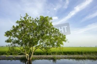 Drzewo w pola ryżowego z ładnym niebieskim tle nieba