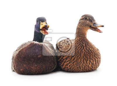 zdjęcia dużych kaczek