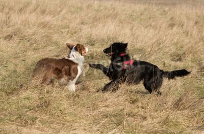 Dwa psy spotkają się w polu i jeden chce grać