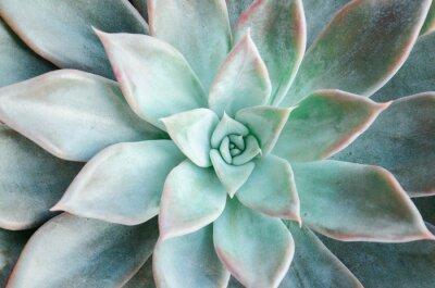 Tapeta  Echeveria succulent on a white background
