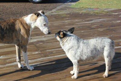 Encontro de Cachorros, psy spotkanie