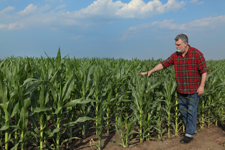 Farmer or agronomist examining quality of corn plant field with tablet in hand