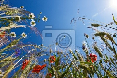 feldblumen - polne kwiaty