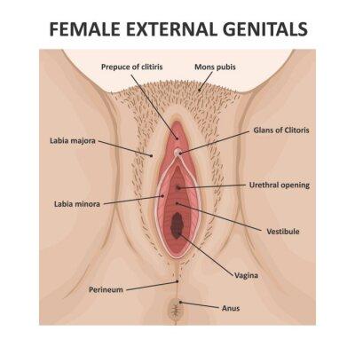 Tapeta Female external genitals. Medical poster female anatomy vagina