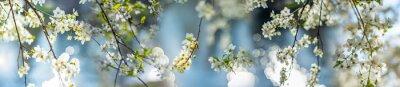 Tapeta flowering spring cherry tree close-up and light bokeh