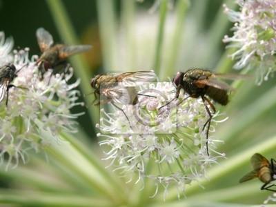 Fly siedzi na kwiat.