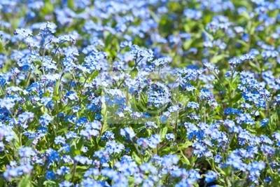 Tapeta Forget-me-not kwiaty w ogrodzie