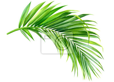 Tapeta green palm leaf on an isolated white background, watercolor illustration, jungle clipart