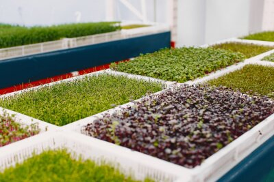 Tapeta Heap of beet micro greens in a boxes