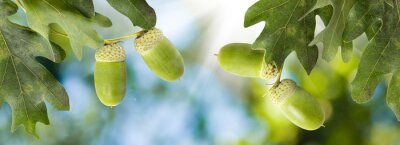 Tapeta image of oak trees with acorns in the forest close-up