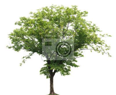 Tapeta isolated tree