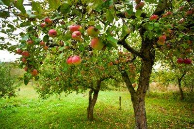 Jabłonie z czerwonych jabłek