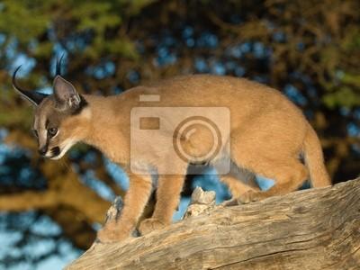 Tapeta Karakal Cat Przyrody Na Zewnątrz Kot Redropl
