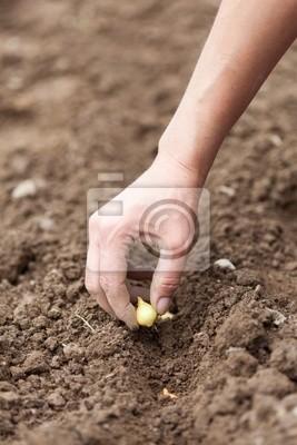 Kobieta sadzenie ręka szalotka