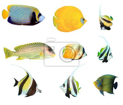 Kolekcja tropikalnych ryb na białym tle. Cesarz Skalary, Niebiesko-policzki Rybitwica, Rybik, Słodycze, Mauretański Idol, Koraniczna Rybka