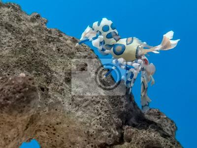 Kolorowa arlekin garnela pod wodą morską