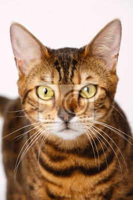 Chwalebne Tapeta Kot bengalski • młody, tło, miejsce • REDRO.pl MV15