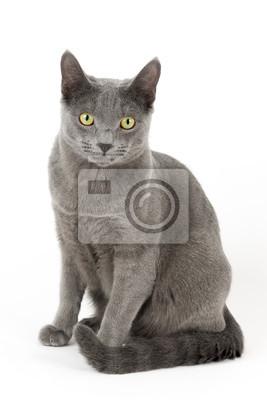 Tapeta Kot Rosyjski Niebieski 14948 Piękno Pozować Młody Redropl