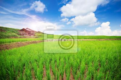 Krajobraz Tajlandzki ryżu pole z ładnym niebieskim niebem