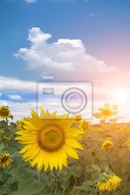 Kwiat słońca pole słoneczników