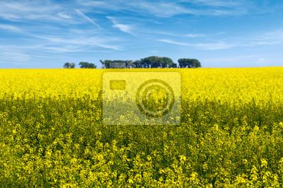 Kwiaty pola rzepaku w rozkwicie