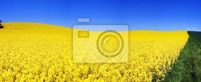 kwiaty żółte pola rzepaku
