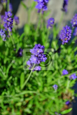 Tapeta Lawenda Kwiat Ogród Ogrodnictwo Redropl