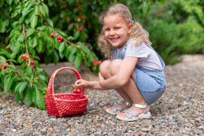 little blonde girl picking cherries from a garden tree in a wicker basket. Outdoor summer activities for little kids