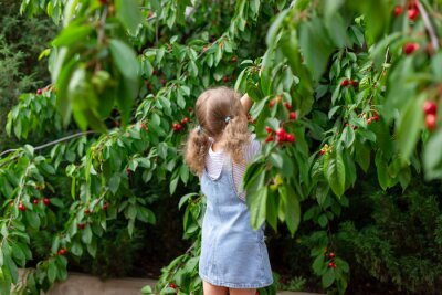 little girl picking cherries from a garden tree. Healthy eating. Happy childhood. selective focus