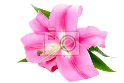 Tapeta Magenta Lily wyizolowanych na białym tle