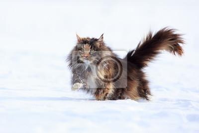 Tapeta Maine Coon Kot W Polu śnieg Zwierzęcy Pole Portret Redropl