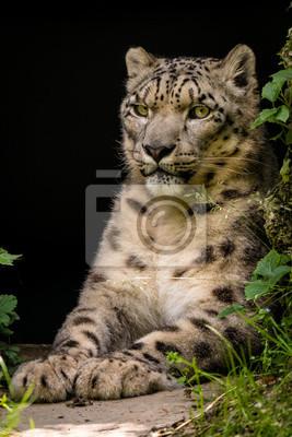 Tapeta Majestatyczny Portret śnieżny Lampart Irbis Lampart Kot