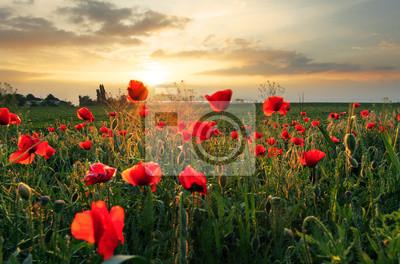 Maki kwiat na zachodzie słońca pole