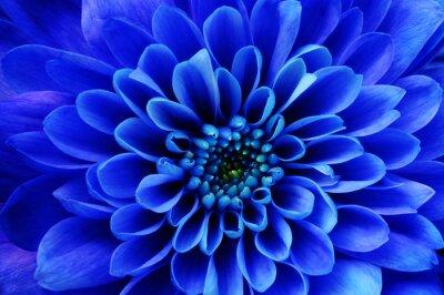 Tapeta Makro niebieski kwiat aster