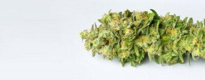 Tapeta Makro świeżo zebranych medycznych marihuany