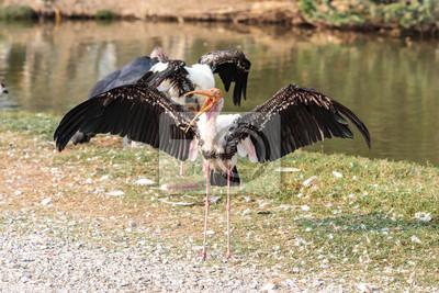 Marabut bocian skrzydła spread