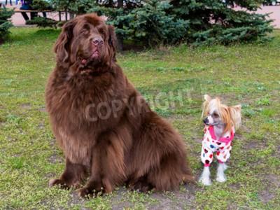 Mastif tybetański i chiński grzywacz. Mastif tybetański i chiński grzywacz spotykają psa w parku.