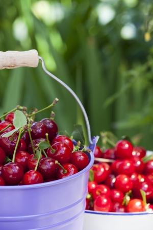 Metalowe wiadro i białe emaliowane miski wypełnione świeżo zebranych wiśni z ogrodu