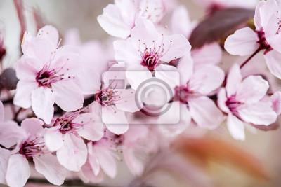 Oddział kwitnących wiśni z ogrodu botanicznego. Close-up zdjęcie. Kwiatowy streszczenie tekstura. Koncepcja przyrody. Wzór rośliny