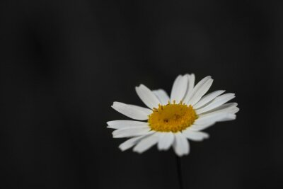Tapeta One white daisy flower isolated on dark background. Floral pattern, object