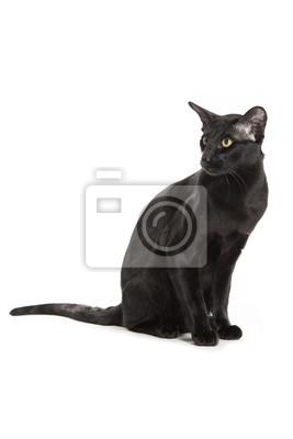Tapeta Orientalne Czarny Kot Wyizolowanych Na Białym Tle Czarny