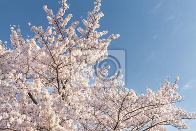 Piękna wiśniowy kwiat sakura z ładnym błękitnym niebem ..