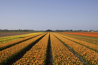 Piękne holenderskie tulipany pole z błękitnego nieba. Znani tulipan holenderski w Holandii.