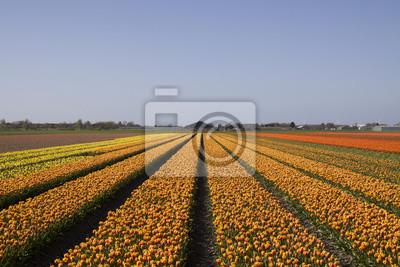 Piękne pola tulipanów holenderskiego z błękitne niebo. Słynne holenderskie kwiaty tulipanów w Holandii.