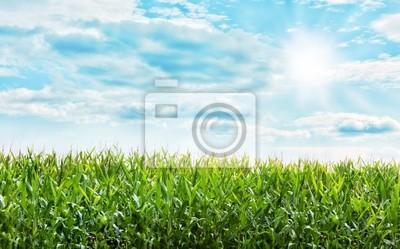 Piękne pole roślin kukurydzy z ładnym niebieskim pastelowym niebie