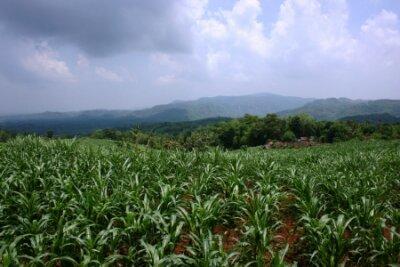 Piękne pole rośliny kukurydzy z ładnym ciemnego nieba