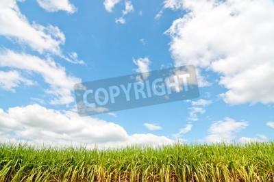 Piękne pole rośliny kukurydzy z ładnym niebieskim pastelowym nieba