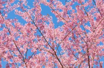 Piękne wiśniowy kwiat sakura z Nicei błękitne niebo