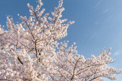 Piękny czereśniowy okwitnięcie Sakura z ładnym niebieskim niebem